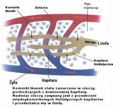 hydra - Hydra a układ limfatyczny.. 07-h1